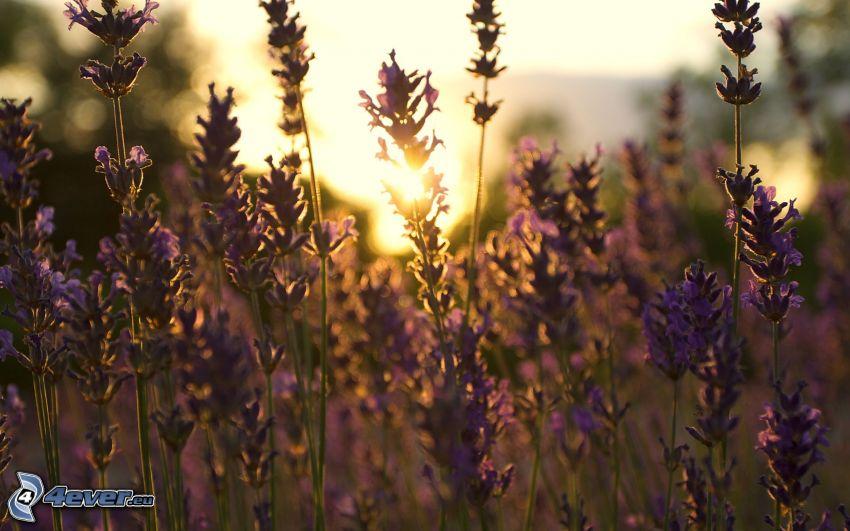 puesta de sol sobre el campo, lavanda