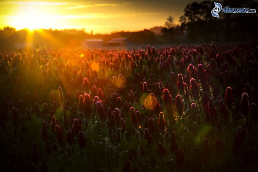 puesta del sol, flores de color rosa