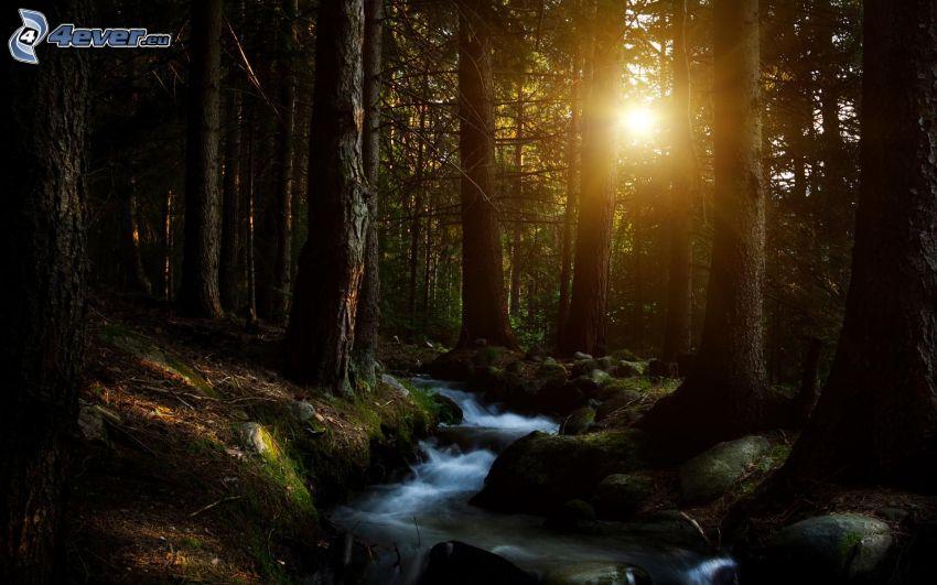 puesta del sol en el bosque, corriente que pasa por un bosque