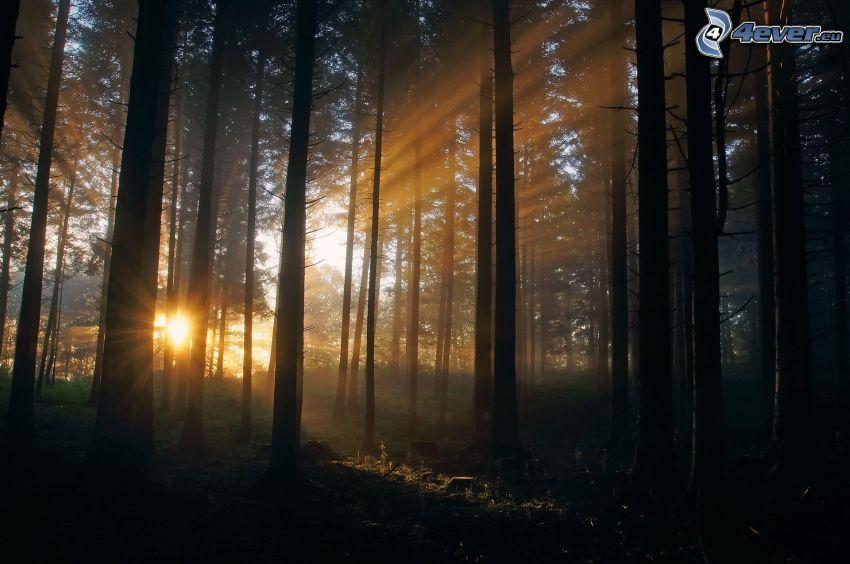 puesta del sol en el bosque, rayos de sol
