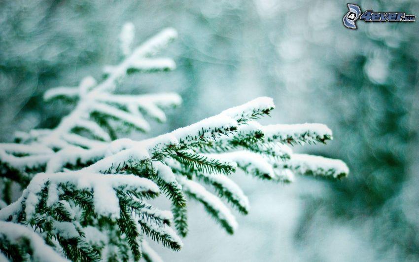 rama, pícea, nieve