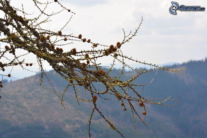 ramas de hoja perenne, conos, sierra
