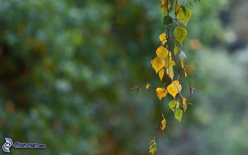 ramita, abedul, hojas verdes
