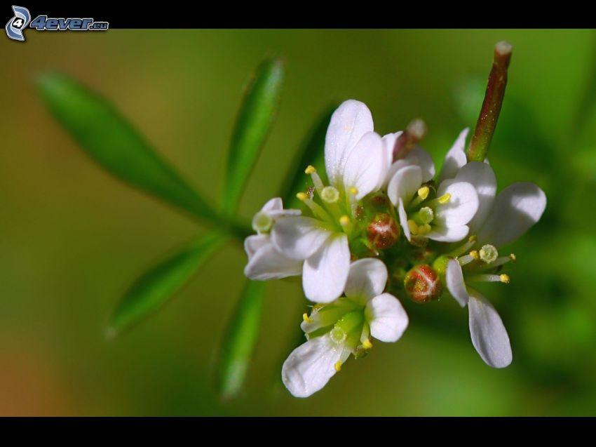 ramita en flor, flores blancas
