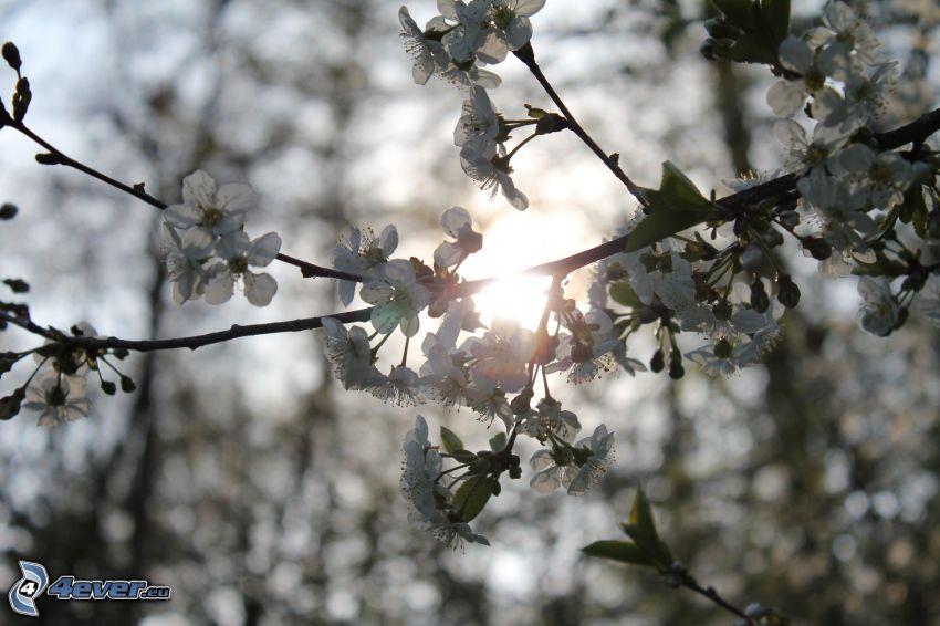 ramita en flor, sol