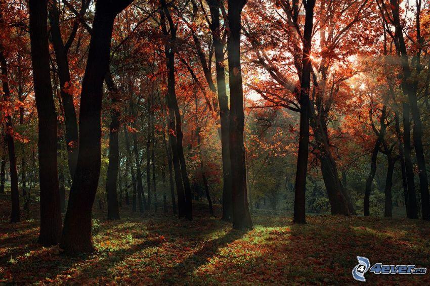 rayos de sol en el bosque, árboles otoñales