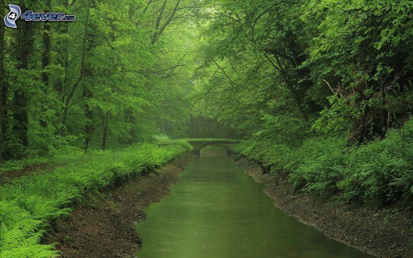 río en el bosque, helechos, puente