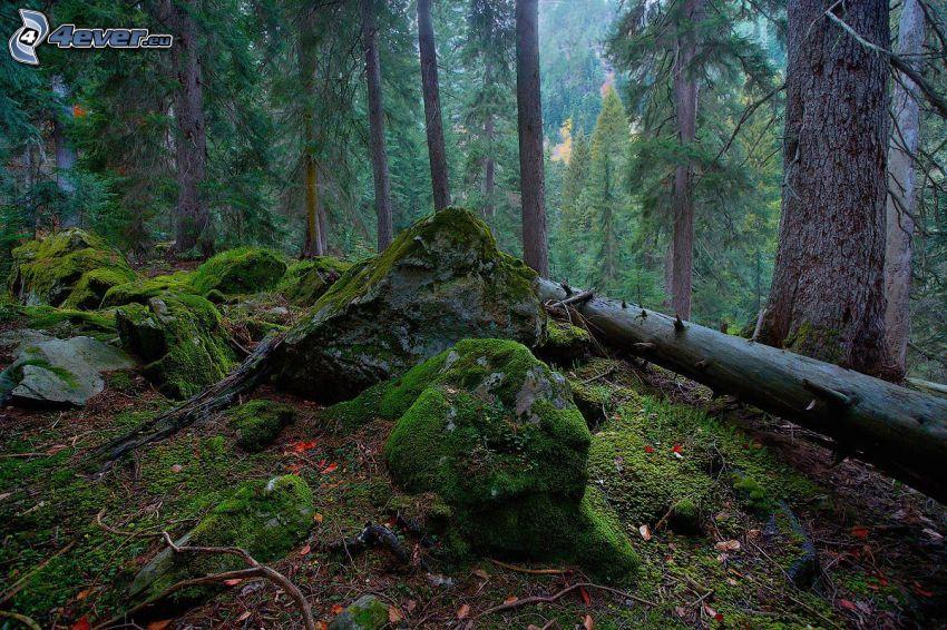rocas, musgo, tribu, bosques de coníferas