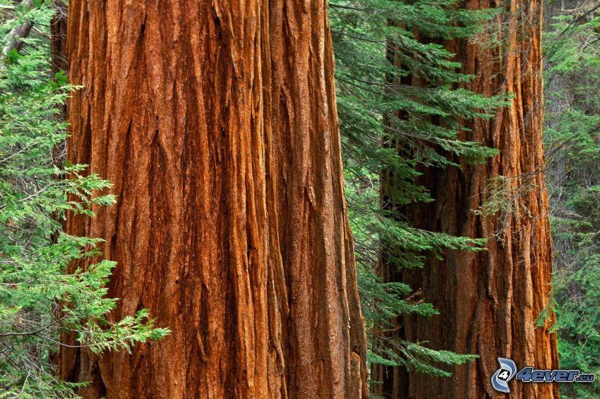 secoya, árboles, corteza de árbol