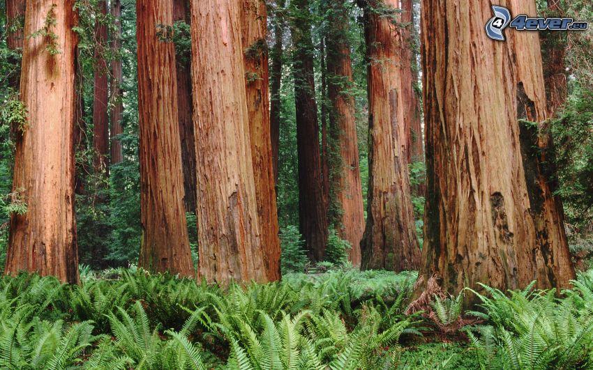 secoya, bosque, helechos