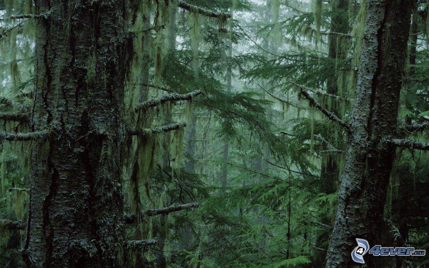 selva, árboles coníferos