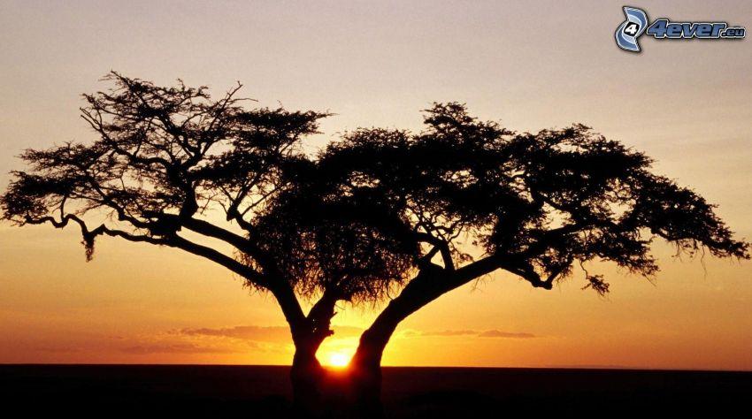 silueta de un árbol, puesta del sol