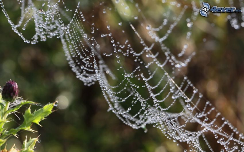 tela de araña con gotas de agua, cardo