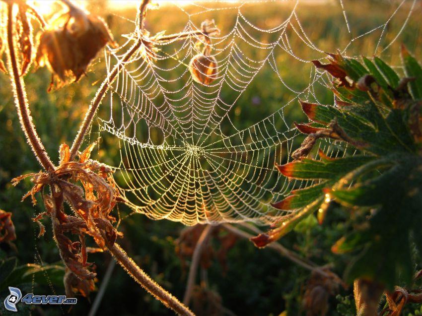 tela de araña con gotas de agua, plantas, salida del sol