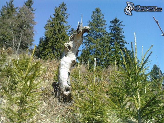 tronco, árboles coníferos
