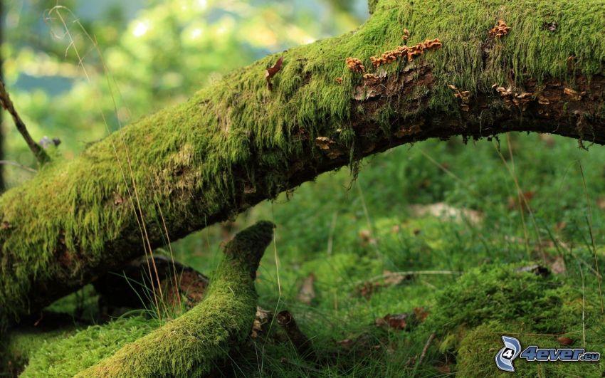 tronco, musgo, verde