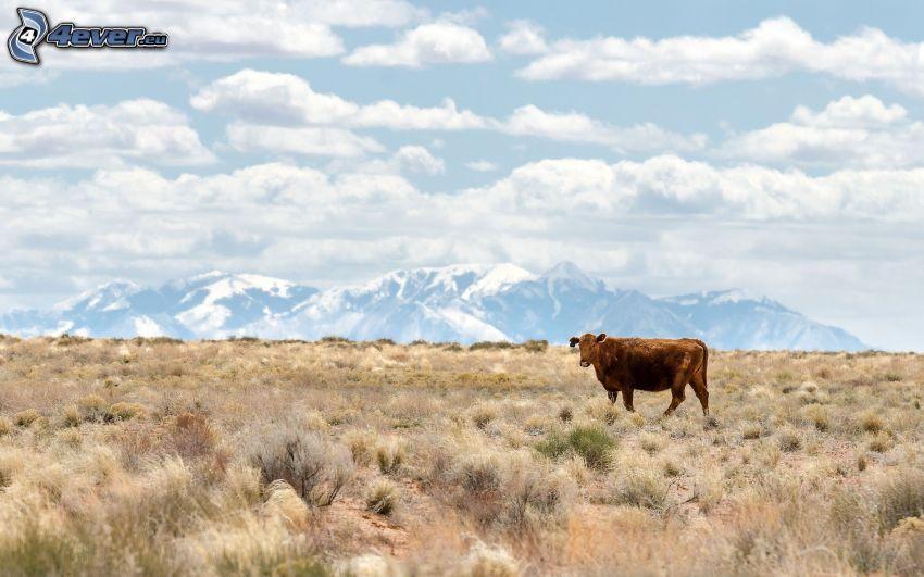 vaca, montañas nevadas, campo, nubes