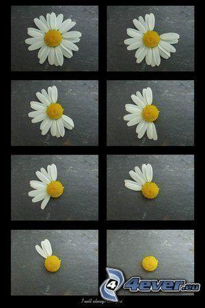 manzanilla, flor