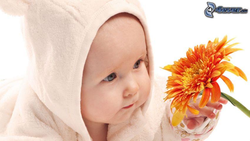 bebé, gerbera, flor