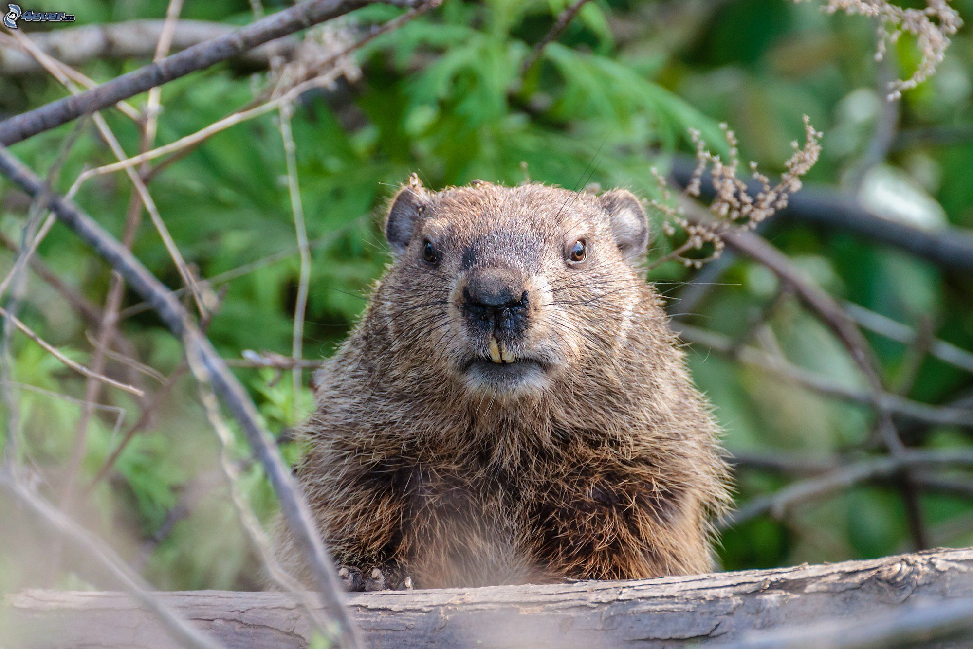 Wild Hog Hunting in Southern Louisiana Breaux Bridge, LA Pictures of a ground hog