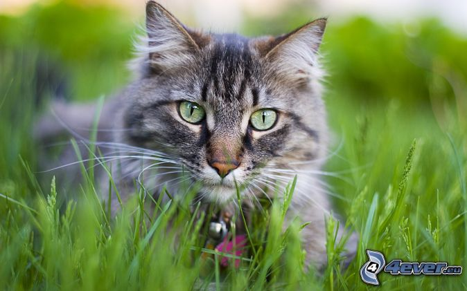 Chat dans l 39 herbe - Herbe a chat seche ...