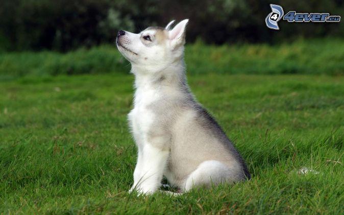 Perros Husky Siberiano Fondos De Pantalla Hd De Animales 2: Husky Sibérien