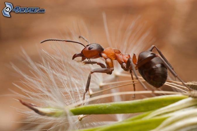 fourmi , pissenlit défleuri , macro