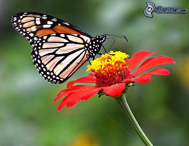 Papillon sur fleur - Papillon fleur ...