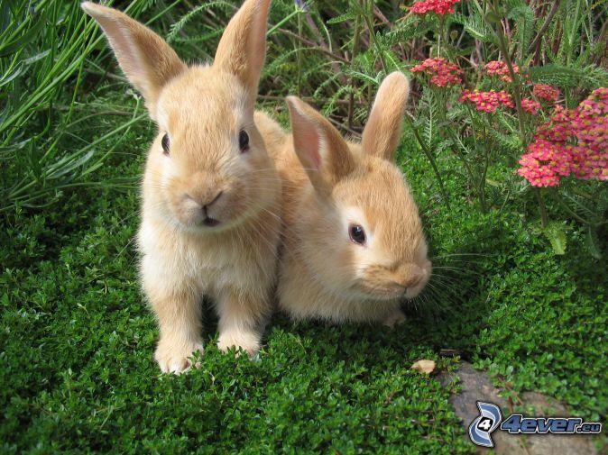 lapins, fleurs roses