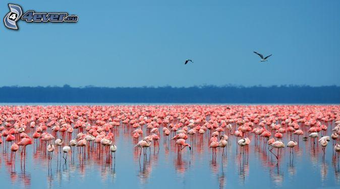flamants, Nakuru, lac