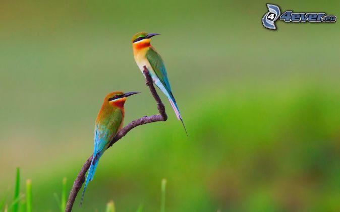 Guêpier d'Europe, oiseaux sur une branche