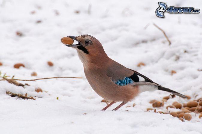 oiseau, noix, neige