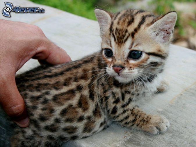 petit chaton, Chat du Bengale