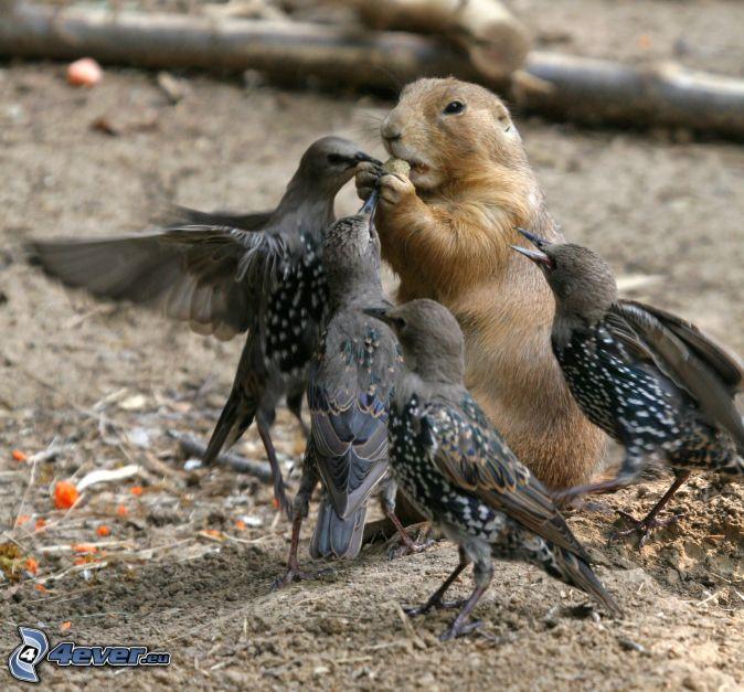 bataille, spermophile, oiseaux