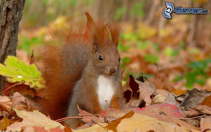 écureuil, les feuilles tombées