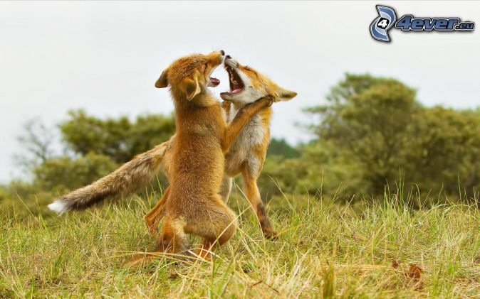 les-petits-renards,-jeunes,-jeu-183356.jpg