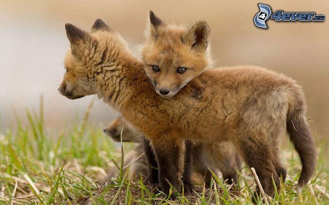 les-petits-renards,-jeunes-178695.jpg