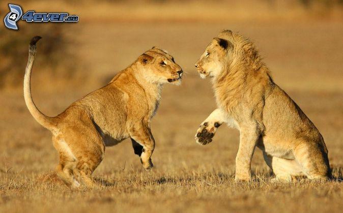 lion, lionne