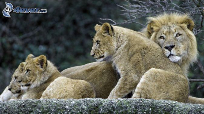 lions calmes