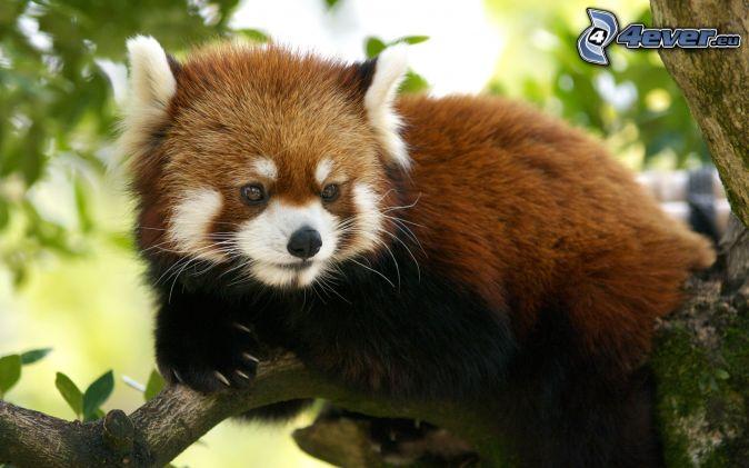 Les membres en animaux, c'est cool. Panda-rouge-dans-larbre-152729