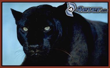 puma noir animal photo