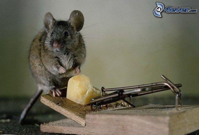 Rat - Cepos para ratones ...