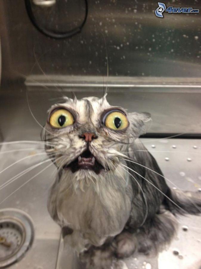 chat mouillé, grands yeux, peur