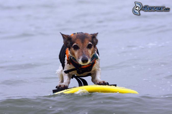 chien, surf