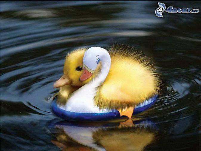 petit canard, la roue pour la natation