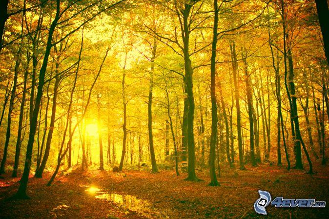 Jaunes forêt d´automne , coucher du soleil , feuilles