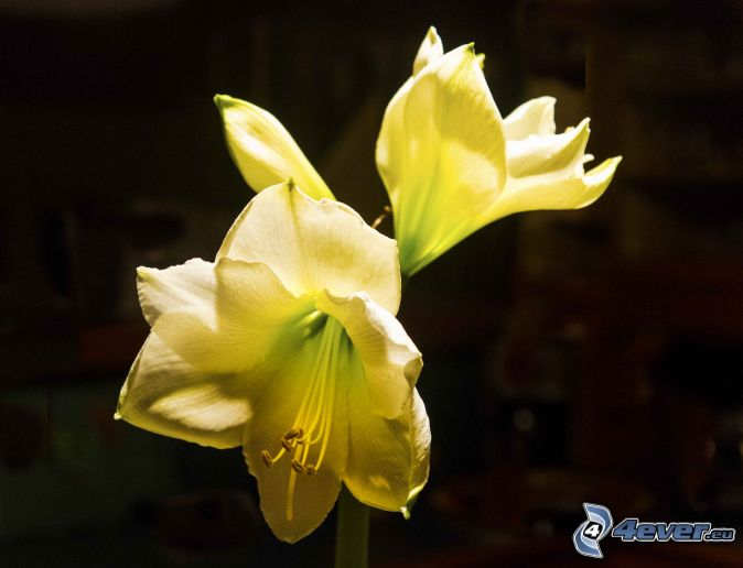 Amaryllis for Amaryllis jaune