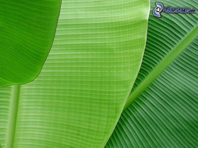 banana leaf wallpaper hd