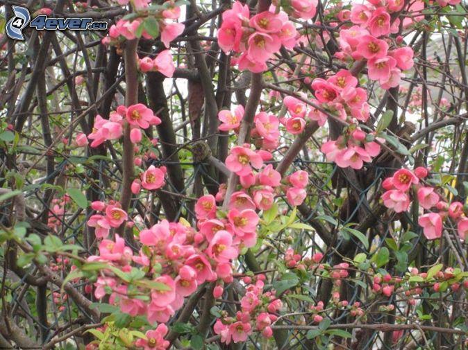 Fleurs roses - Arbuste a fleurs roses ...
