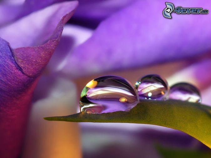 gouttes d'eau, fleurs violettes